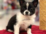 Siyah ve kahve beyaz chihuahua yavrularımız @catboyssss da