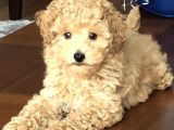 Safkan Yavru Toy Poodle- Red Brown