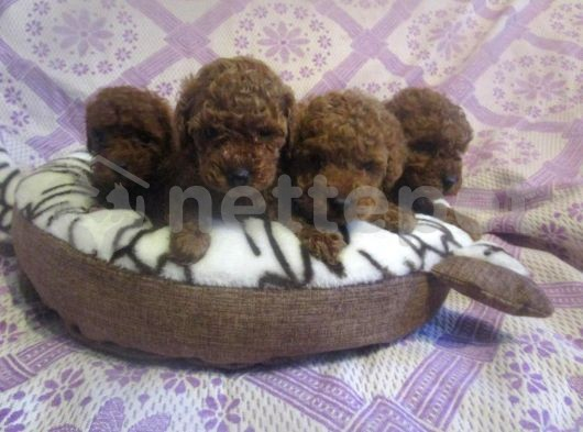 Red ve red brown toy poodle yavrularımız orjinal mini boyut