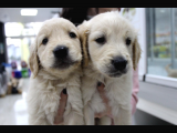 Bebek yüzlü golden retriever yavrular