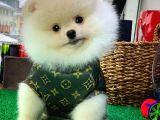 Ayı Surat Yakışıklı Pomeranian Boo Oğlumuz COLA