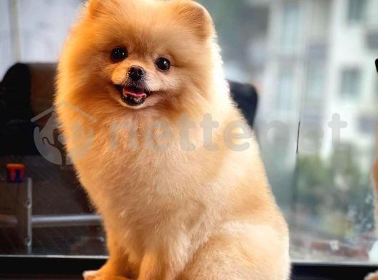 Yetişkin Pomeranian Boo Kızımız Daisey