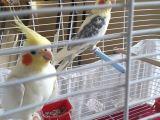 Çift,Sağlıklı,Sultan papağanı