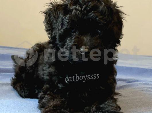 Siyah inci dişi toy poodle yavrumuz @catboyssss da