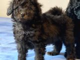 Silver ve black toy poodle yavrularımız @catboyssss da