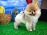 Enteresan Güzellikte Pomeranian Boo yavrumuz