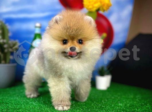 Gülen Surat Yakışıklı Ve Sempatik Pomeranian Boo Oğlumuz