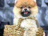 Cezbeden Güzellikte Pomeranian Boo yavrumuz