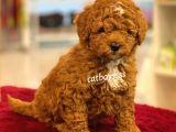 Muhteşem kalite red brown toy poodle yavrumuz @catboyssss da