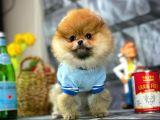 Şirinlik ve Güzellik Pomeranian Boo yavrumuzda