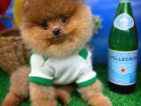Şampiyon Anne-Babadan Mavi Gözlü PomeranianBoo Oğlumuz/ İnstagram: pomeranianboodunyasi_