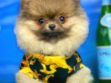 Sık tüylü Güleryüzlü Oyuncu Pomeranian Boo yavrumuz