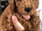 Toy Poodle Oyuncak Boy Yavrular