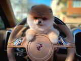 En Güzelinden Yarışma düzeyi Pomeranian Boo