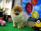 Çok Havalı oyuncu Pomeranian Boo yavrumuz