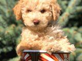 Mükemmel Renkli Gözlü Toy Poodle Oğlumuz