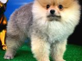 Pomeranian Boo Tatlı Dostumuz