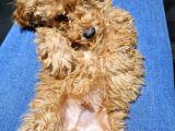 A kalite poodle