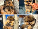 Orjinal Pomeranian Boo yavrumuz