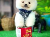 MiniBoy KarBeyazı Pomeranian Oğlumuz/ İnstagram: pomeranianboodunyasi_