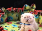 MUHTESEM KALITE SCOTTISH FOLD BLUEPOINT YAVRU