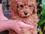 A kalite secereli toy poodle