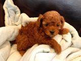 0-3 aylık Toy Poodle