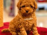 Muhteşem red toy poodle erkek yavru @catboyssss da