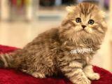 Longhair scottish fold erkek yavru @catboyssss da
