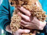 Toy poodle secereli  evraklı