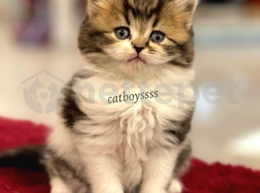 Bi color Longhair british erkek yavru @catboyssss da