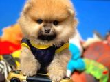Orijinal Renk Yapısına Sahip Pomeranian Yavrumuz/ İnstagram: pomeranianboodunyasi_