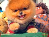 1 Karış Boyunda TeddyBear PomeranianBoo Yavrularımızdan/ İnstagram: pomeranianboodunyasi_