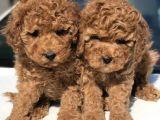 Red brown toy poodle yavrularımız AB pasaportlu