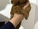 Red toy poodle yavruz
