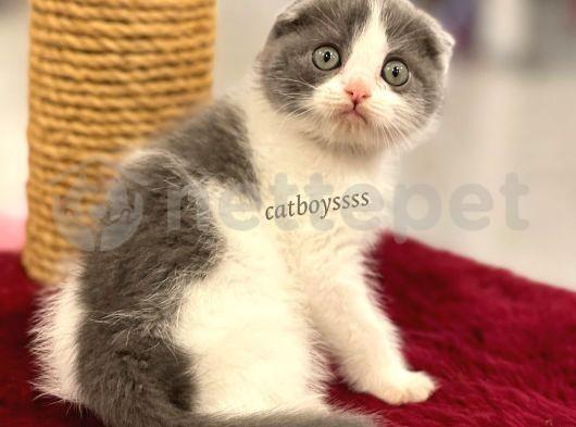 Muhteşem bi color scottish fold dişi yavru @catboyssss da