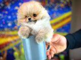 Teacup Teddy Bear Pomeranian Boo Yavrumuz