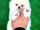 Minik Paticik Pomeranian Boo