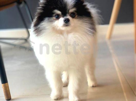 Partycolor Ender Güzellikte Pomeranian Boo