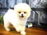 Gülen Surat Yakışıklı Pomeranian Boo Oğlumuz HUGO
