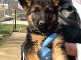 Anne ve Baba SCRli Safkan Alman Kurdu Köpeği Yavruları