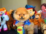 Oyuncu TeddyBear PomeranianBoo Yavrumuz/ İnstagram: Pomeranianboodunyasi_
