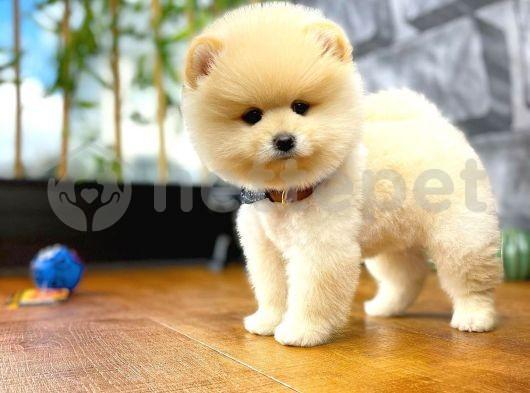 En Enn Güzelinden Pomeranian Boo