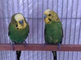 Ev üretimi muhabbet çifti, Anne baba bakıcı kuşlardır..