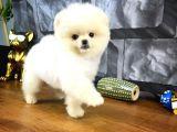 Safkan PomeranianBoo Yavrularımızdan 3 Aylık Oğlumuz