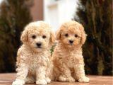 Poodle yavrular toy ve minyatür boy