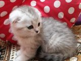 Topaç kafa Scottish Fold Silvershad