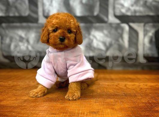 Red Brown 3 Aylık Toy Poodle Yavrumuz ALEX