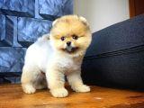 Ayı Surat Sevimli Pomeranian Boo Oğlumuz MİCHEL