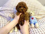 Toy poodle yavrularımız ırk ve sağlık garantili